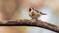 Bokeh goldfinch (susie2778) Tags: lillianshide olympus omdem1mkii olympusm300mmf40 bird goldfinch