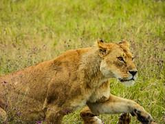 THE MIGHTY MOTHER (eliewolfphotography) Tags: lion lions lioness wildlife wildlifephotographer nature naturelovers nikon natgeo mother animals africa safari serengeti