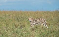Busara (Tris Enticknap) Tags: africa cheetah kenya masaimara masaimaranationalreserve acinonyxjubatus