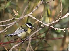 Mésange charbonnière (boblecram) Tags: parus major mésange charbonnière passereau oiseau bird great tit ornithologie ornithology nature