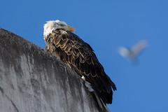 Bald Eagle (tylerhuestis) Tags: ornithology bird birdofprey raptor eagle yeg edmonton alberta canada nature tamron150600