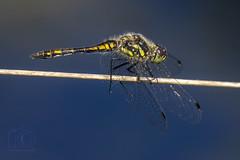 ♂ Sympetrum danae (roderick smith) Tags: sympetrumdanae blackdarter dragonfly odonata whixallmoss shropshire canon eos6dmkii ef100400mmislmkii ef14xextendermkiii