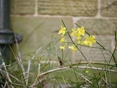 tough flowers (Nina A. J. G.) Tags: flowers yellow uk durham nature garden primelens fixedlens
