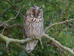 Long-eared Owl (wild) (KHR Images) Tags: longearedowl long eared owl asiootus wild bird perched cambridgeshire fens farmland woodland wildlife nature nikon d500 kevinrobson khrimages