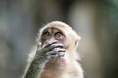 The Little Wise Monkey (fredMin) Tags: fujinon malaysia kualalumpur bokeh animal monkey travel xt2 fuji fujifilm