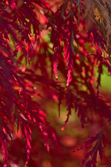 Red Leaves (pstenzel71) Tags: herbst natur pflanzen autumn fall leaves bokeh blätter darktable ilce7rm3 sel100400gm