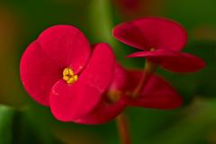 Christ's Thorn (pstenzel71) Tags: blumen natur pflanzen christsthorn christusdorn euphorbiamilii darktable flower bokeh ilce7rm3 sel90m28g