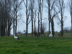 Storks That Preferred To Stay (Marit Buelens) Tags: eu belgium westvlaanderen flanders damme town building windmill windmolen animal bird vogel stork ooievaar cigogne meadow weide tree willow knotwilg populier poplar black white