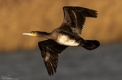 Sunlit Cormorant (Steve (Hooky) Waddingham) Tags: animal countryside coast canon bird british nature wild wildlife flight cormorant photography sea