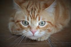 Ready for attack 😼 - Listo para el ataque (En memoria de Zarpazos, mi valiente y mimoso tigre) Tags: spritz spritzeddu greeneyes bigeyes ginger orangetabby micio cat kitten gato gatto