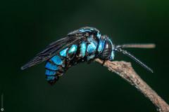 A sleeping Thyreus bee (Lr Home) Tags: bee macro sel30m35 blue bees a6000 sonya6000