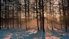 Planken Wambuis (jandewit2) Tags: planken wambuis wood forest trees bomen sneeuw zon sun landschap landscape natuur nederland natuurmonumenten netherlands nikon nature