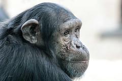 Chimpansee (K.Verhulst) Tags: chimpansee chimpanzee ape mensaap dierenparkamersfoort amersfoort monkeys apen