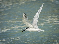 🇺🇸 Sandwich tern KW 3565 (vickyoutenphoto) Tags: vickyouten sandwichtern wildlife nature nikon nikond7200 nikkor55300mm keywest florida usa