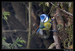 Mésange bleue (Cyanistes caeruleus) (cquintin) Tags: chordata vertebrata aves passeriformes paridae cyanistes caeruleus mésange tit