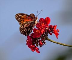 Afternoon Fire (ACEZandEIGHTZ) Tags: redflower nikond3200 macro closeup jatropha gulffritillary agraulisvanillae flyinginsect wings winged butterfly sky nature
