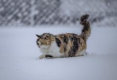 My cute cat in snow (Vagelis Pikoulas) Tags: snow snowing canon cat kitten winter january 2020 6d vilia village greece pet animal