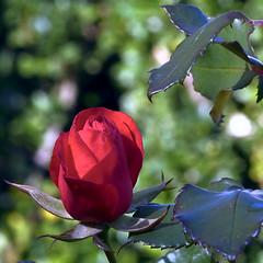 La rosa i un jardí
