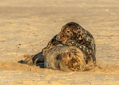 Grey Seals Canoodling (Karen Roe) Tags: greyseal grey seal canon 7d mkii mark2 canon7dmkii 150600mm sigma zoom telephoto december 2019 winter season norfolk county britain greatbritain gb uk unitedkingdom outside outdoor day camera photo photography photograph photographer picture capture image snap shot karenroe female flickr visit visitor wildlife wild nature natur naturephotography national animal life cute colours naturaleza eos light sea coast beach happy cold weather