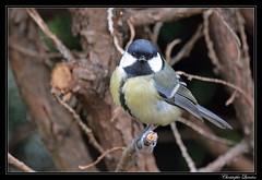 Mésange charbonnière (Parus major) (cquintin) Tags: chordata vertebrata aves passeriformes parus paridae major tit mésange