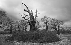 The End is Nigh (Michael J Lawlor) Tags: trees woodland forest windsor windsorgreatpark oak monochrome bw blackwhite blackandwhite landscape berkshire clouds sky