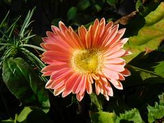 Peach Gerbera Daisy (Madonovan) Tags: gerberadaisy peach toiletplanter winter january 2020