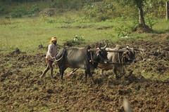 Rural Life (steve_whitmarsh) Tags: building architecture india khajuraho animal cow field topic