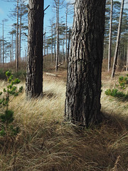 (Neil Bryce) Tags: anglesey newborough llanddwyn forest island beach pine dunes landscape olympus tree