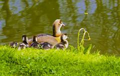 Animals (ost_jean) Tags: animals eenden ducks nikon d5300 tamron sp 90mm f28 di vc usd macro 11 f004n ostjean dieren animaux nature