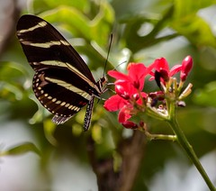 In The Bright Sunlight (ACEZandEIGHTZ) Tags: zebralongwing butterfly nikond3200 agraulisvanillae nature wings winged flyinginsect bokeh macro closeup redflower jatropha stripes heliconiuscharitonius coth alittlebeauty coth5 sunrays5 naturethroughthelens
