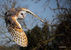 Barn Owl (Geoffrey Hawkins 48) Tags: barn owl avian hunting dawn countryside bradninch devon