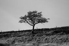 _MG_7689_2 (jemmawalton) Tags: nature black white monochrome tree lone lonely landscape yorkshire grass wall drystone