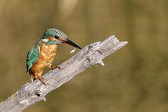 Alcedo atthis (Jaume Bobet) Tags: alcedo atthis fauna aves pajaros bobet cnon sigma flix sebes