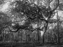Twisty Oak (surfcaster9) Tags: oaktree outside squiggly blackwhite nature micro43 bw lumixg7 lumix25mmf17asph outdoors florida woods
