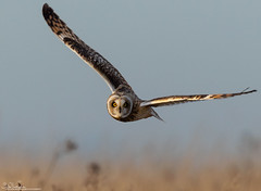 Bright Eyes (Steve (Hooky) Waddingham) Tags: animal countryside bird british prey wild wildlife owl nature winter flight