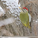 Scaly-bellied Woodpecker (Picus squamatus)