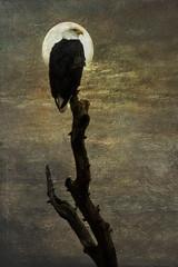 Moon Eagle (TicKavich) Tags: moon tree bird texture night eagle symbol raptor limb outdoors wildlife majestic award awardtree artdigital