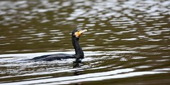Cormorant (Deanne Wildsmith) Tags: cormorant bird staffordshire bartonmarina earthnaturelife