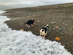 Should we or shouldn't we? (David JP64) Tags: beach wales dinasdinlle bordercollies
