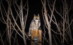 Great Horned Owl (Bubo Virginianus) With Its Mesmerizing Stare (RS2Photography) Tags: owl bird nature flash animal wild natur tree winter night two eyes intense glowing new 2020 inyo canon flickr unofficial horned great awesome rossome hunt hunting birds bubo virginianus hooting hoot canon80d ftw inyocounty smol mesmerizing mesmerized stare animalplanet smugmug bubovirginianus art light hornedowl greathornedowl synchronicity wildlife birdsofafeather naturaleza naturephotography ww3 wwiii general sky life iso1000 55250mmstm 55250mmisstm happiness happy