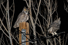 Who In The Heck Is This New Guy?!? Is Probably What This Great Horned Owl (Bubo Virginianus) Was Thinking. LOL (RS2Photography) Tags: owl bird nature flash animal wild natur tree winter night two eyes intense glowing new 2020 inyo canon flickr unofficial horned great awesome rossome hunt hunting birds bubo virginianus hooting hoot county inyocounty canon80d animalplanet floraandfauna rs2photography photo photography california wildlife bubovirginianus hornedowl greathornedowl feathers tuftedears smugmug nightime home love luv smol birdsofafeather synchronicity owls twolittlebirds eos naturephotography animals natural naturaleza cold ww3 wwiii life iso1600 55250mmstm 55250mmisstm youmakemefeellikeanaturalwoman happy happiness