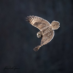 """""""Aerial Fighter"""" A short-eared owl soars in Cades Cove Tennessee in the Great Smoky Mountains National Park 