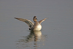 IMG_9022 (Gronk 08) Tags: gadwall duck wild fowl attenborough nature reserve