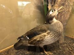 Wood Duck (King Kong 911) Tags: wood duck wheeler wildlife refuge animals birds reptiles