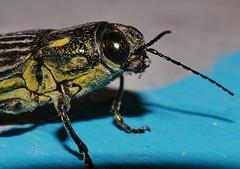 Powdery fluro yellow and black jewel beetle Chalcophorotaenia sp aff australasiae Chalcophorinae Buprestidae Mandalay Rainforest Airlie Beach P1200118 (Steve & Alison1) Tags: powdery fluro yellow black jewel beetle chalcophorotaenia sp aff australasiae chalcophorinae buprestidae mandalay rainforest airlie beach