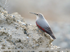 Wallcreeper (Tichodroma muraria) (gilgit2) Tags: birds canon category avifauna altit canoneos7dmarkii pakistan nature fauna geotagged feathers tags location species tamron hunza ornithology wallcreepertichodromamuraria gilgitbaltistan imranshah tamronsp150600mmf563divcusd wings wildlife gilgit2 tichodromamuraria