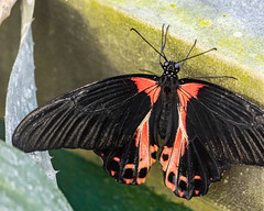 Scarlet Mormon Butterfly (Stephen G Nelson) Tags: insect butterfly botanicalgarden tucson arizona