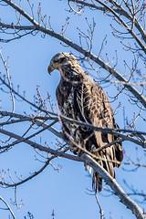 BALD EAGLE - IMMATURE (nsxbirder) Tags: clarksville baldeagle ohio birds cowanlake clintoncounty immature
