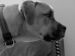 IMG_7719 (kennethkonica) Tags: pet animaleyes animalplanet animal canonpowershot canon usa midwest america indiana indianapolis indy color mood fun hoosier random global canine profile collar jack