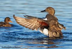 Male Gadwall grooming (Ted Humphreys Nature) Tags: ducks gadwall leightonmoss lancashire england tedhumphreysnature